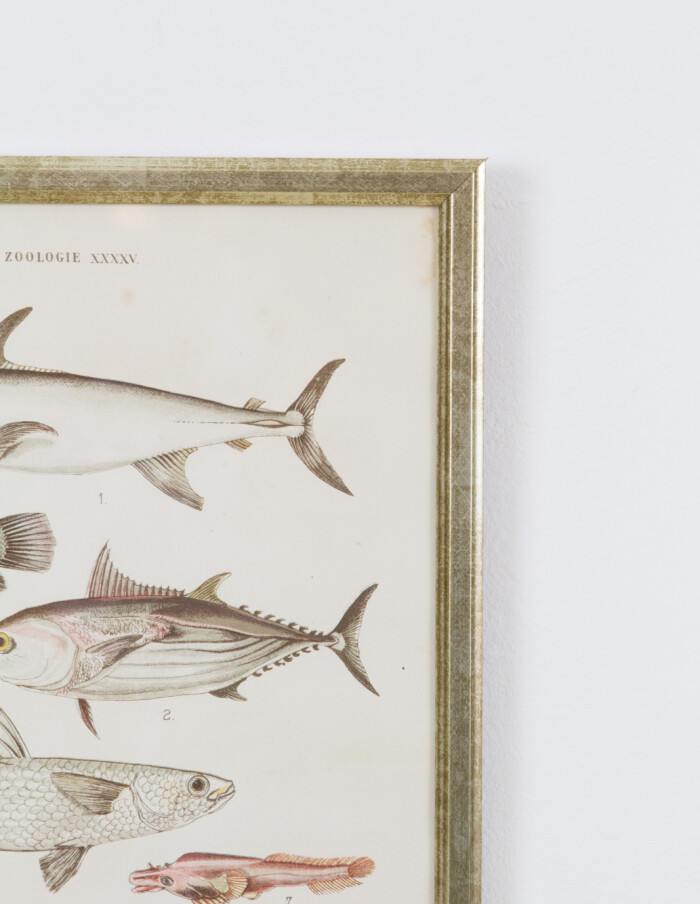 Vintage Austrian Lithography of Colorful Fish from 1885-5