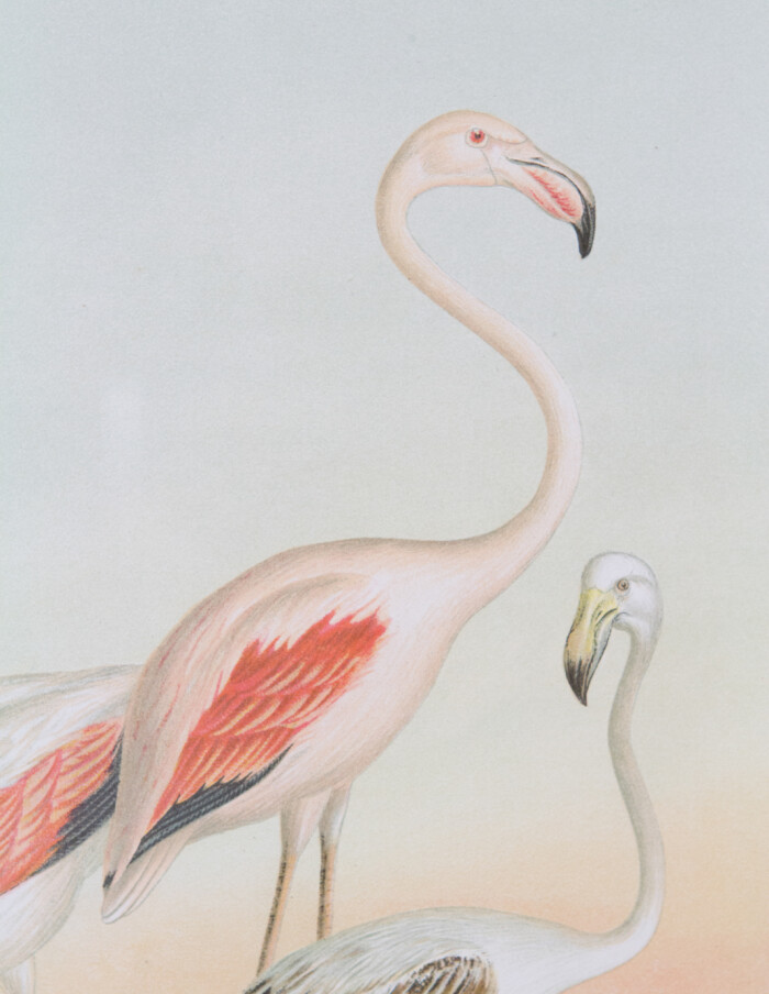 Antique German Lithography of Flamingo from 1897-4