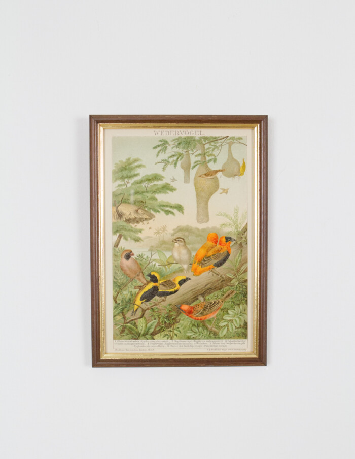 Antique German Lithography of Humming Birds from 1895-1
