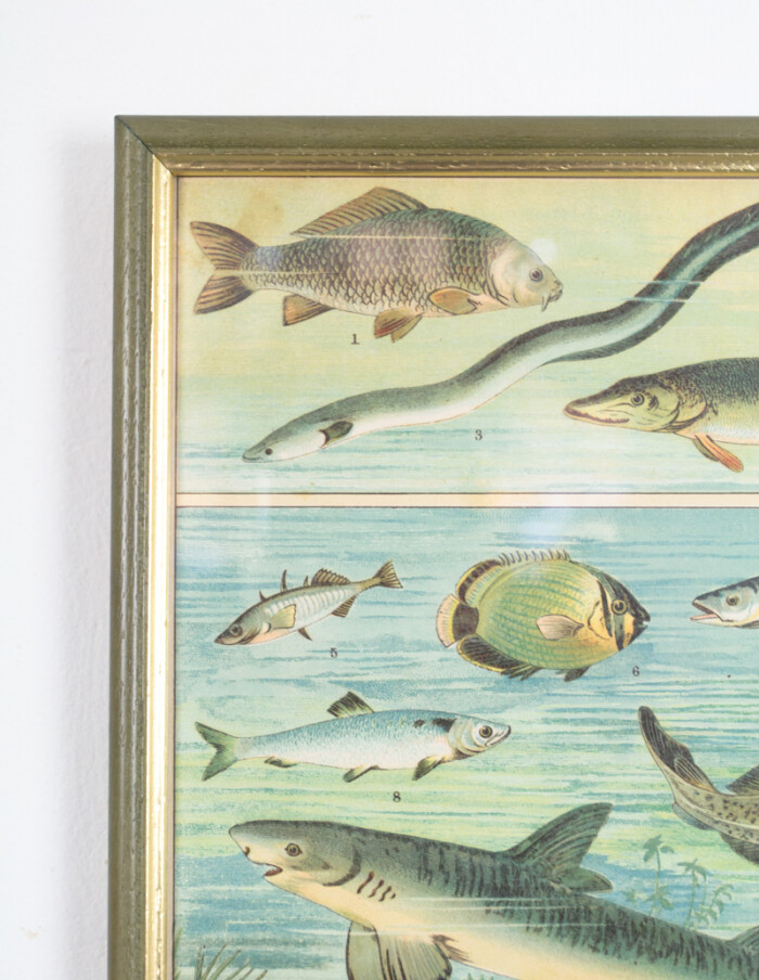 Antique Hungarian Lithography of Fish from 1880-2